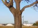 A árvore do Congresso Nacional